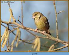 greenfinch-98.jpg