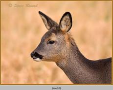 roe-deer-02.jpg