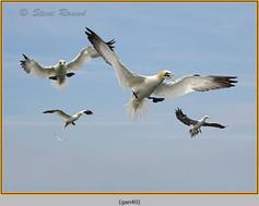 gannet-40.jpg