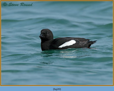 black-guillemot-20.jpg