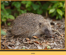 hedgehog-04.jpg