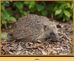 hedgehog-04.jpg