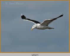 gt-b-backed-gull-27.jpg