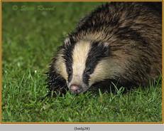 badger-28.jpg