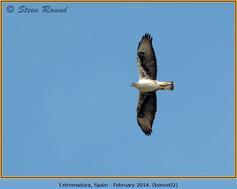 bonelli's-eagle-02.jpg
