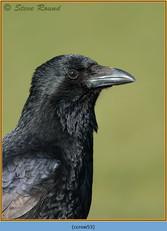 carrion-crow-53.jpg