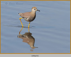 white-tailed-lapwing-32.jpg
