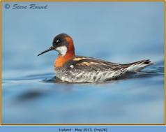 red-necked-phalarope-28.jpg