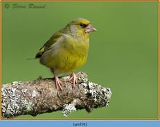 greenfinch-59.jpg