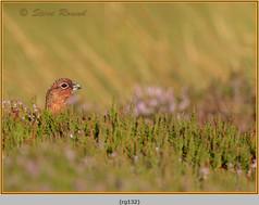 red-grouse-132.jpg