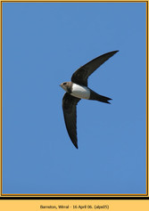 alpine-swift-05.jpg