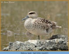 marbled-duck-07.jpg