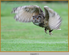 eagle-owl-11c.jpg