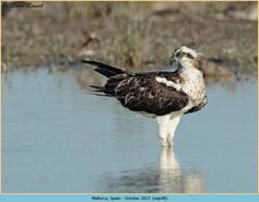 osprey-48.jpg