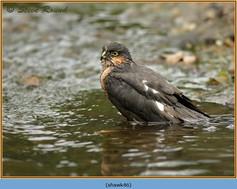 sparrowhawk-46.jpg