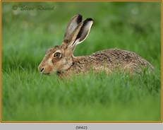 brown-hare-62.jpg