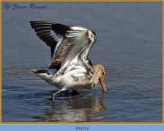 black-tailed-godwit- 71.jpg