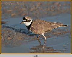 little-ringed-plover-14.jpg