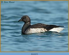 brent-goose-27.jpg