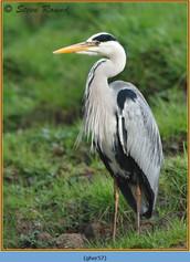 grey-heron-57.jpg