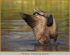 canada-goose-13.jpg
