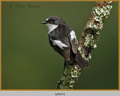 pied-flycatcher-47.jpg