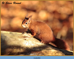 red-squirrel-36.jpg