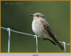 spotted-flycatcher-20.jpg