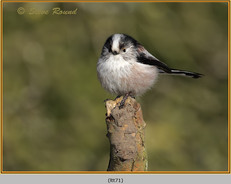 long-tailed-tit-71.jpg
