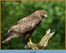 buzzard- 88.jpg