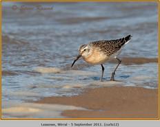 curlew-sandpiper-12.jpg