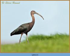 glossy-ibis-12.jpg