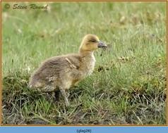 greylag-goose-28.jpg