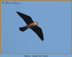 eleonoras-falcon-06.jpg