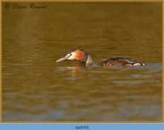 great-crested-grebe-35.jpg