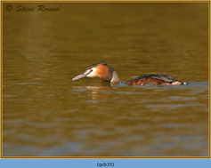 great-crested-grebe-35.jpg