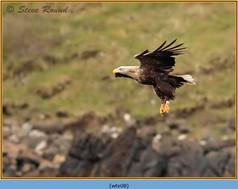 white-tailed-eagle-08.jpg