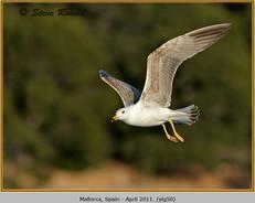 yellow-legged-gull-50.jpg