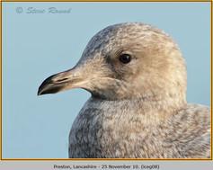iceland-gull-08.jpg