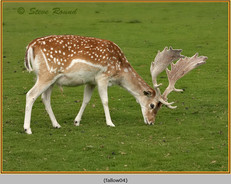 fallow-deer-04.jpg