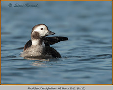 long-tailed-duck-23.jpg
