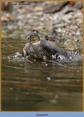 sparrowhawk-49.jpg