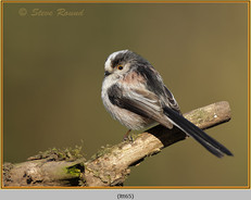 long-tailed-tit-65.jpg