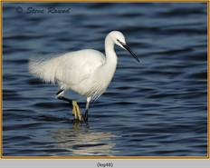 little-egret-48.jpg