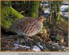 grey-partridge-13.jpg
