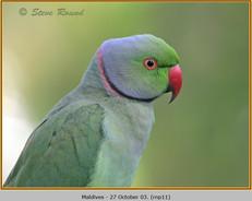 ring-necked-parakeet-11.jpg