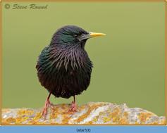 starling-53.jpg