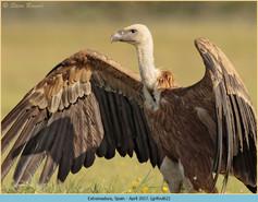 griffon-vulture-62.jpg