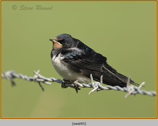 swallow-45.jpg