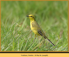 yellow-wagtail-08.jpg